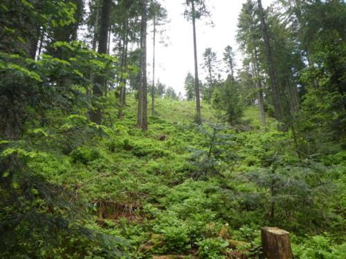 Blick in den Wald am Aufstieg zur Hornisgrinde