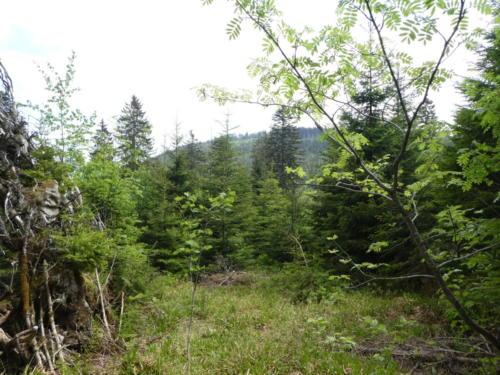 Aufstieg zur Hornisgrinde, der Wald lichtet sich