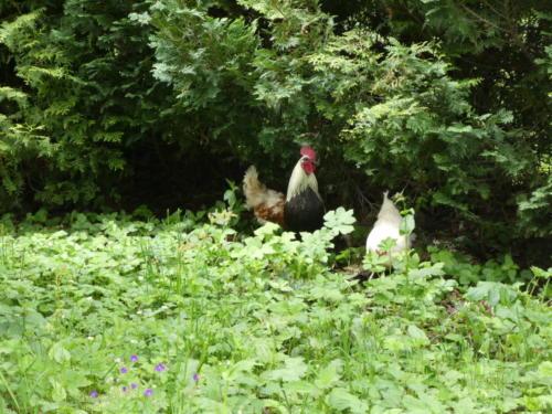 Hühner am Wegesrand